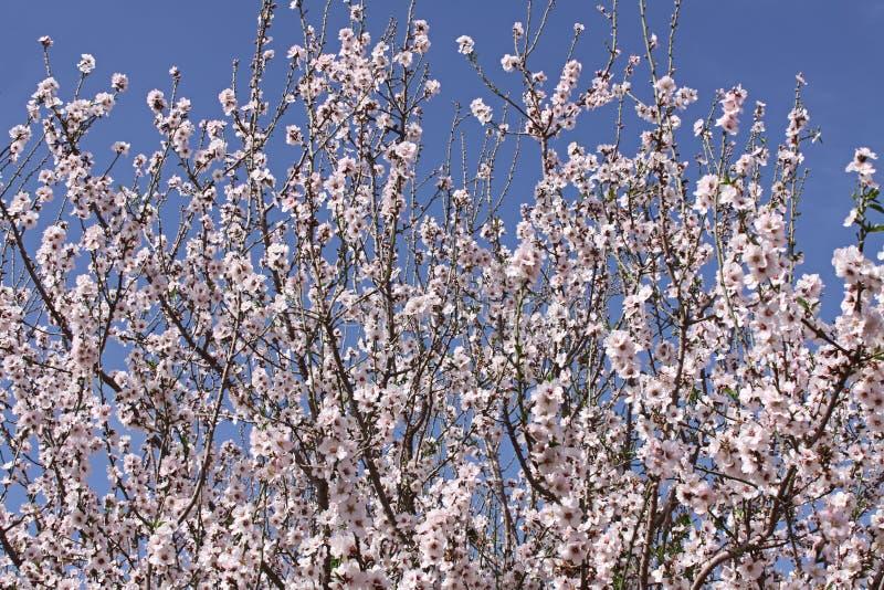 Цветя миндальные деревья стоковые фото
