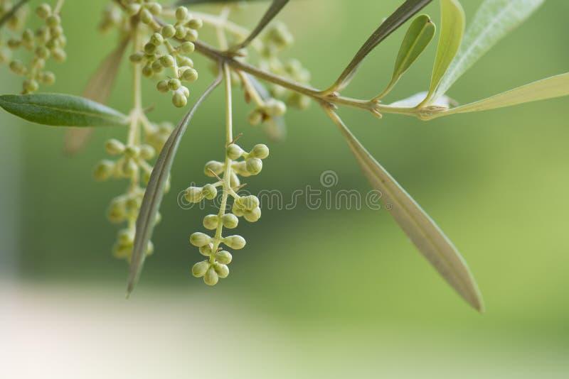 Цветя оливковое дерево стоковые изображения