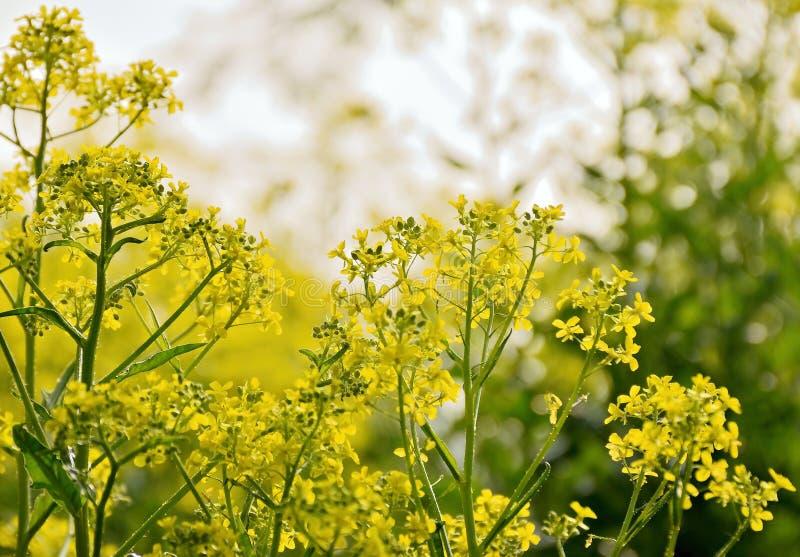 Цветя природа arvensis Sinapis мустарда поля весной около чехословакского городка Chabarovice стоковое фото