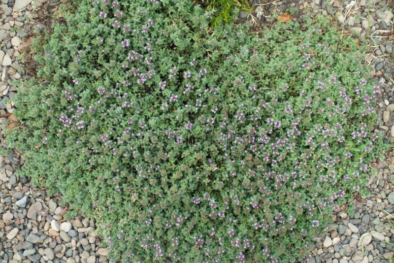 Цветя проползая тимиан в rockery стоковое фото rf