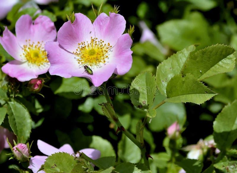 цветя роза одичалая стоковая фотография