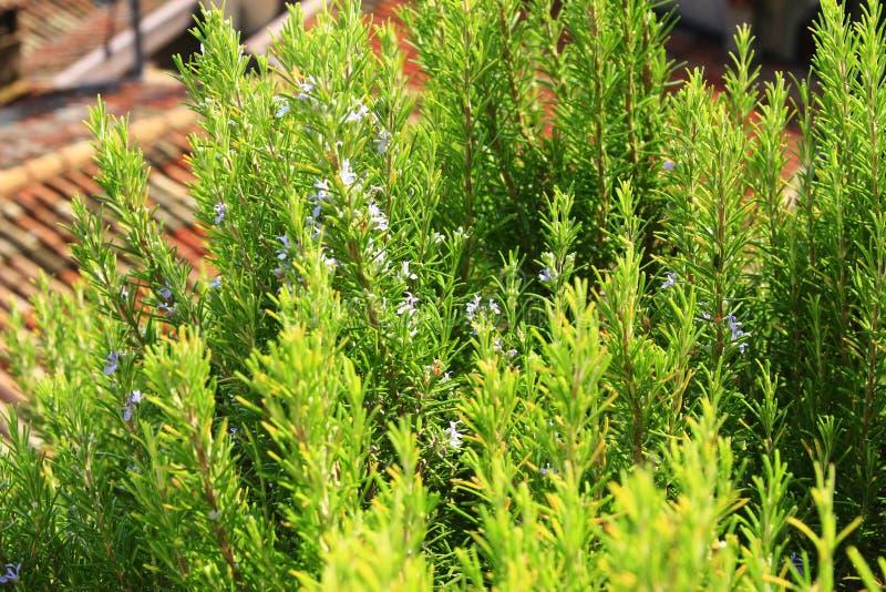 Цветя розмариновое масло (officinalis Rosmarinus) стоковые фотографии rf