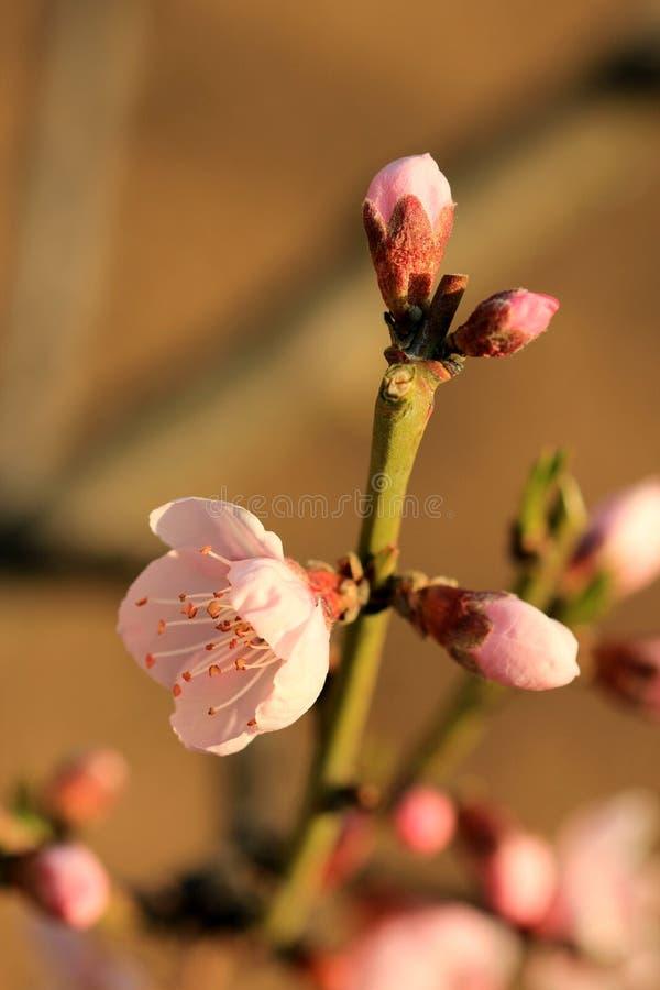 Цветя розовые цветеня абрикоса стоковое фото rf