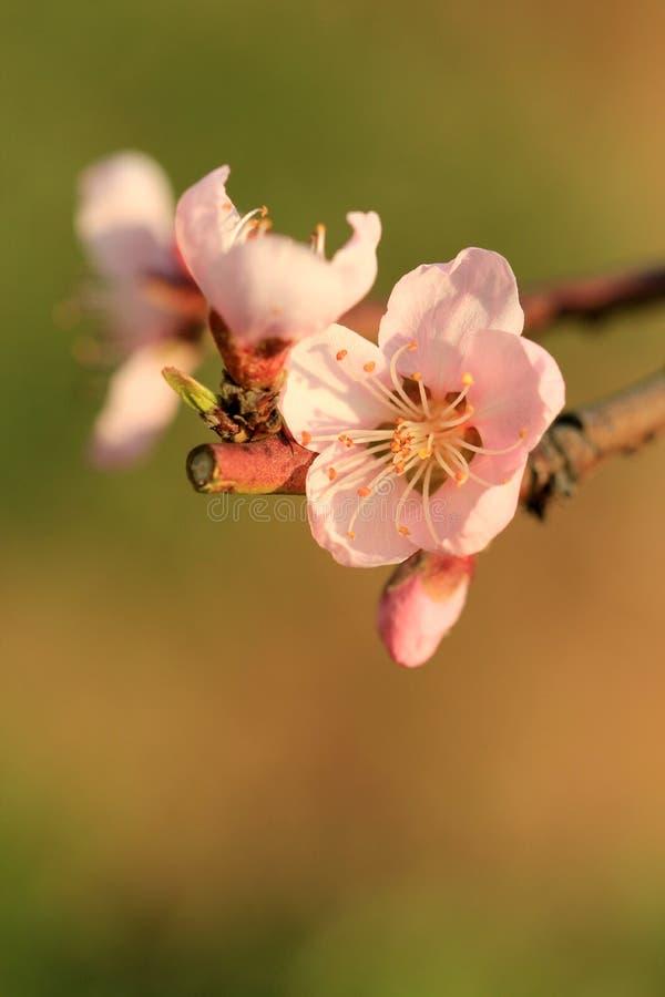 Цветя розовые цветеня абрикоса стоковое фото