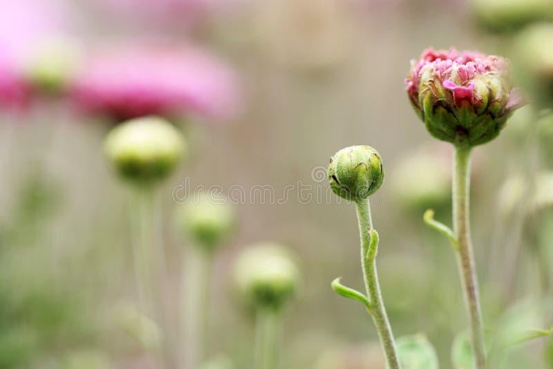 Цветя розовые цветеня хризантемы стоковое изображение rf