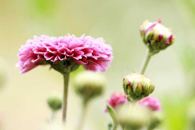 Цветя розовые цветеня хризантемы стоковые изображения