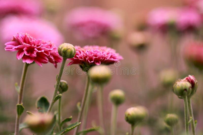 Цветя розовые цветеня хризантемы стоковые фото