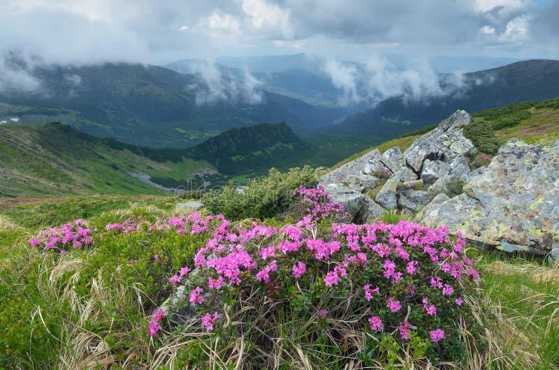 Цветя рододендрон кустарника в горах стоковая фотография rf
