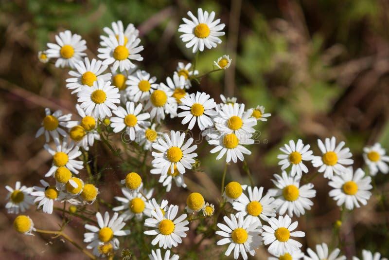 Цветя стоцвет, медицинский завод стоковое изображение