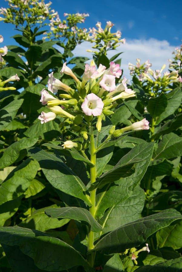 Цветя табак стоковое изображение