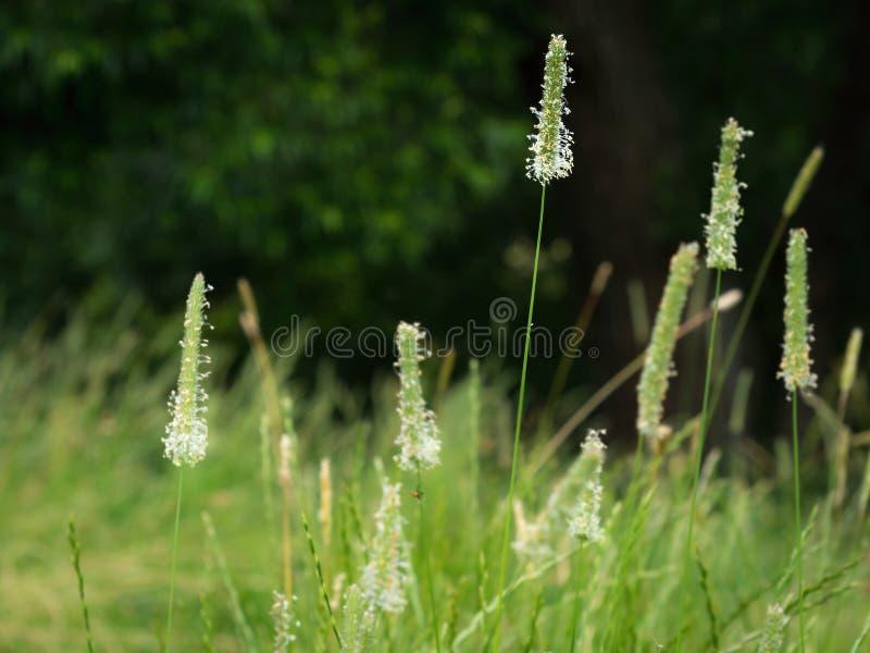 Цветя трава Тимоти стоковое изображение rf