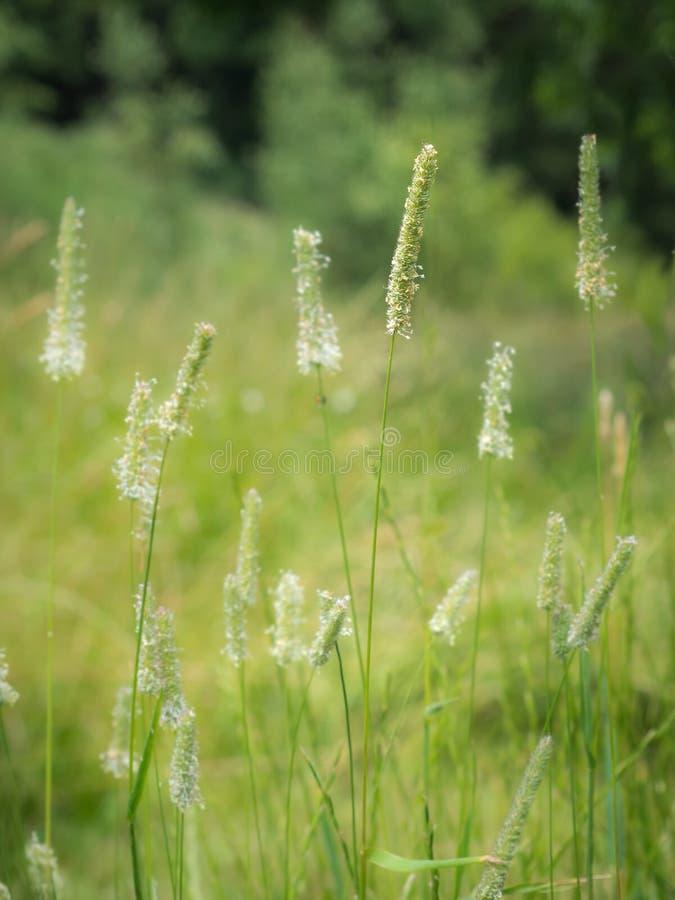 Цветя трава Тимоти стоковые фото
