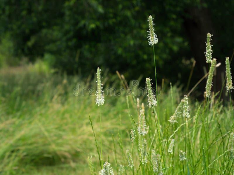 Цветя трава Тимоти стоковое изображение