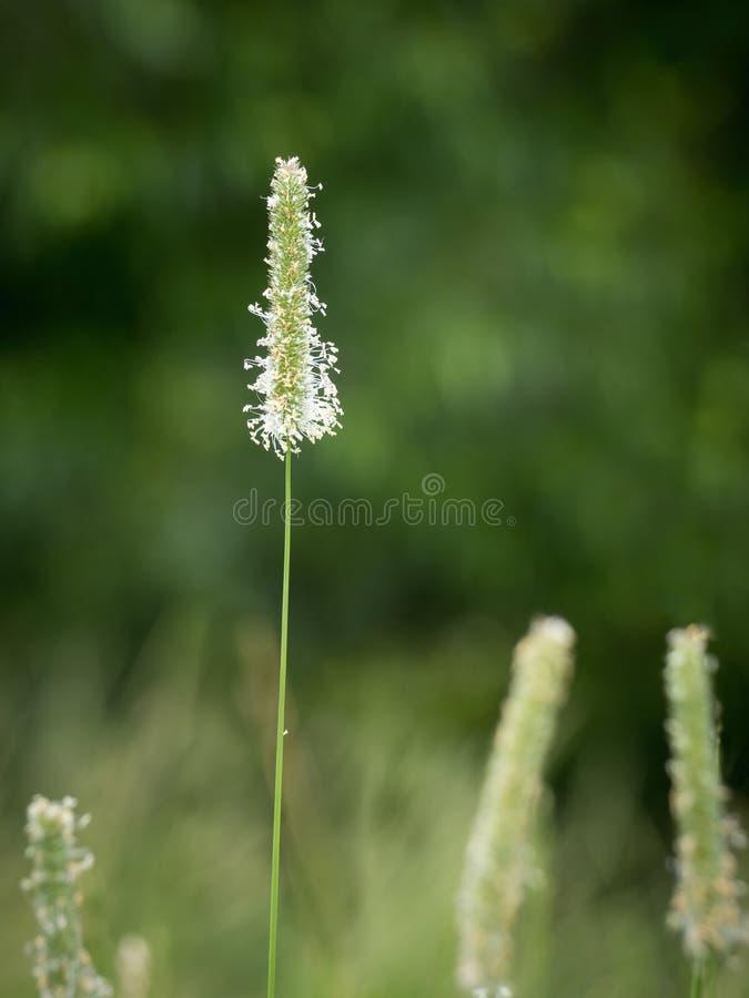 Цветя трава Тимоти стоковая фотография
