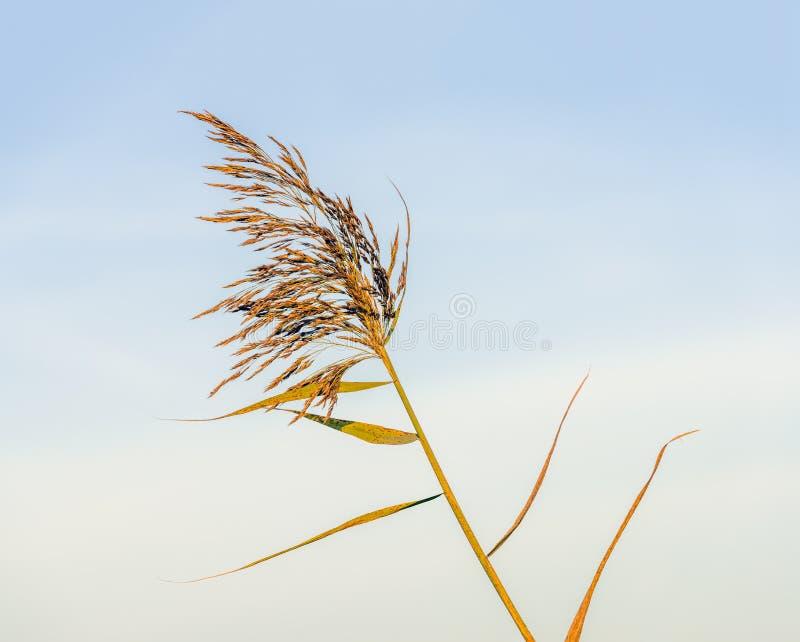 Цветя тростники против голубого неба стоковая фотография rf