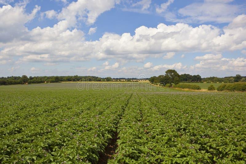 Цветя урожай картошки стоковые изображения