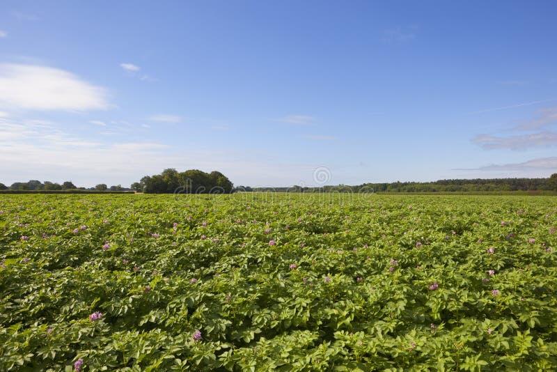 Цветя урожай картошки стоковые фото