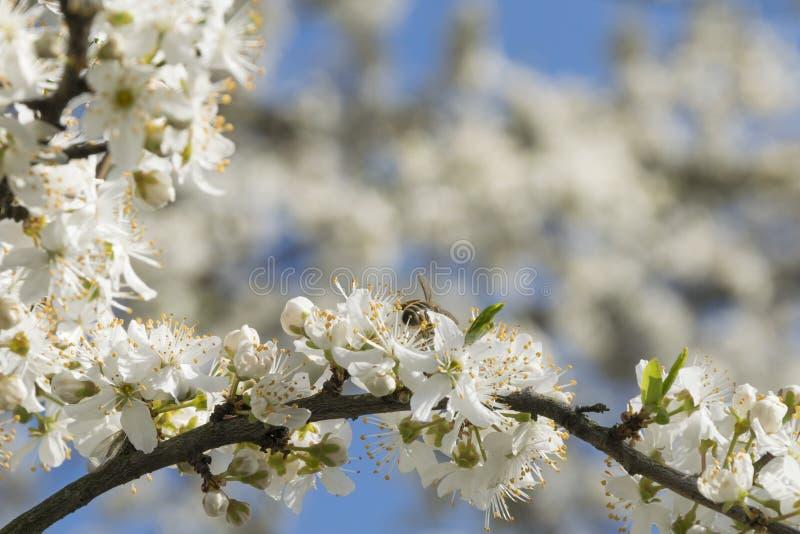 Цветя фруктовое дерев дерево и пчела стоковые фотографии rf