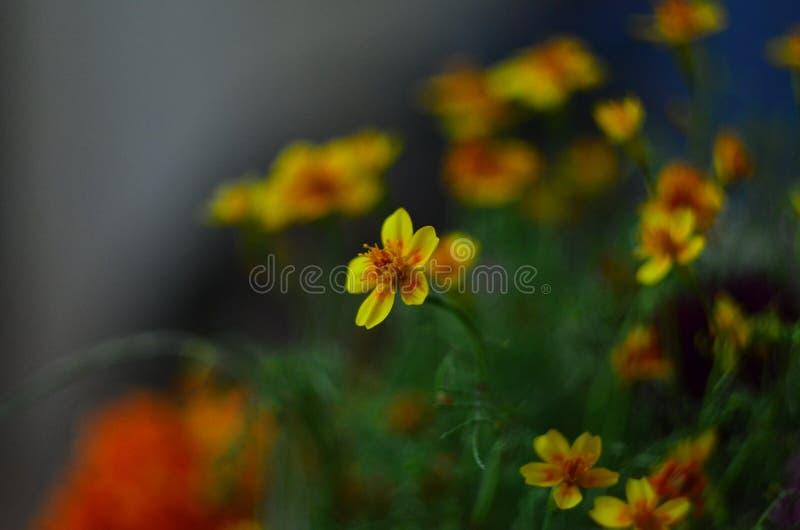 Цветя цветки лютика стоковое изображение