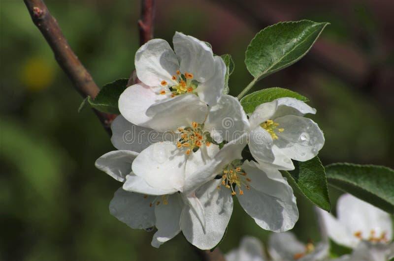 Цветя яблоко весной в саде стоковое изображение rf