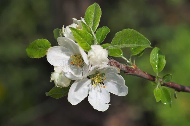 Цветя яблоко весной в саде стоковое фото rf