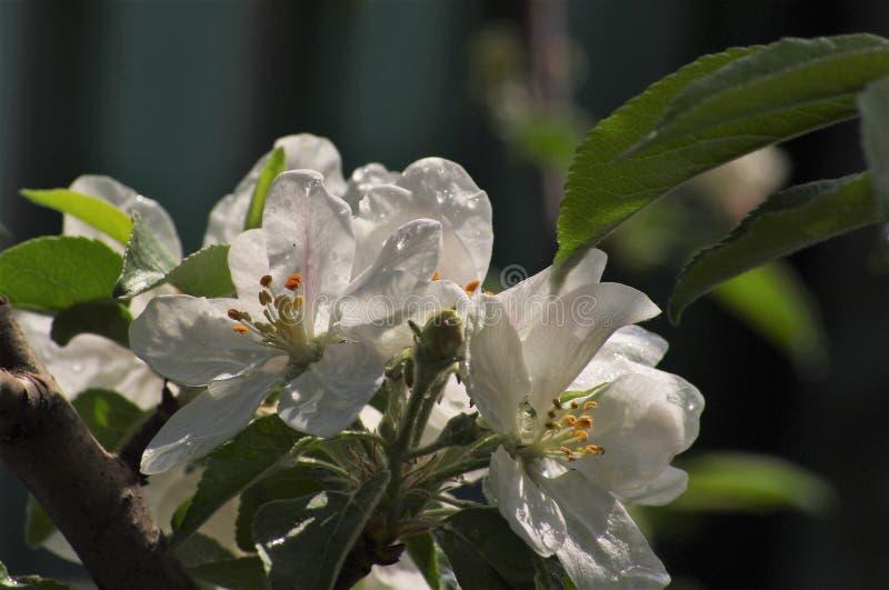 Цветя яблоко весной в саде стоковые изображения rf