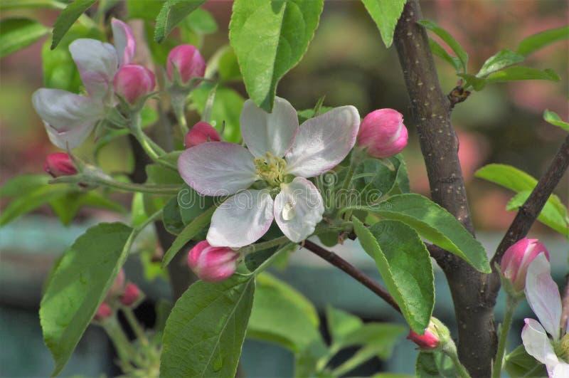 Цветя яблоко весной в саде стоковые изображения
