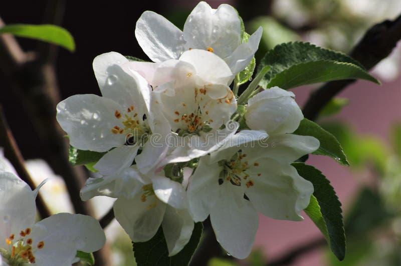 Цветя яблоко весной в саде стоковые фотографии rf