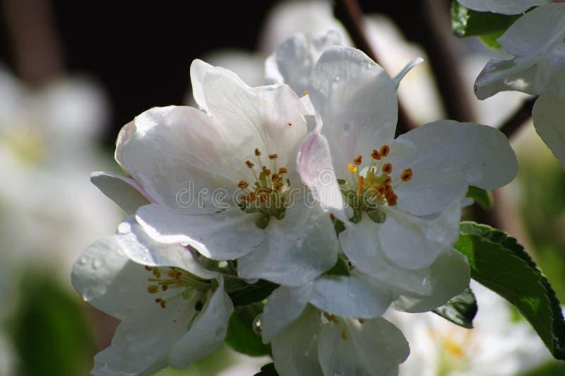 Цветя яблоко весной в саде стоковое фото