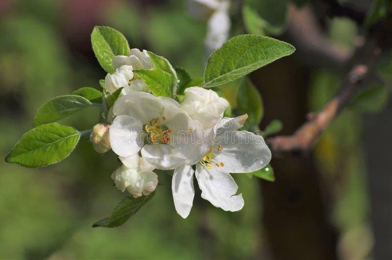 Цветя яблоко весной в саде стоковая фотография