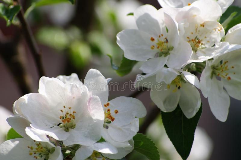 Цветя яблоко весной в саде стоковые фото