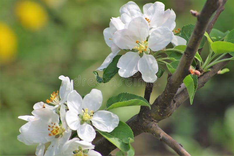 Цветя яблоко весной в саде стоковое изображение