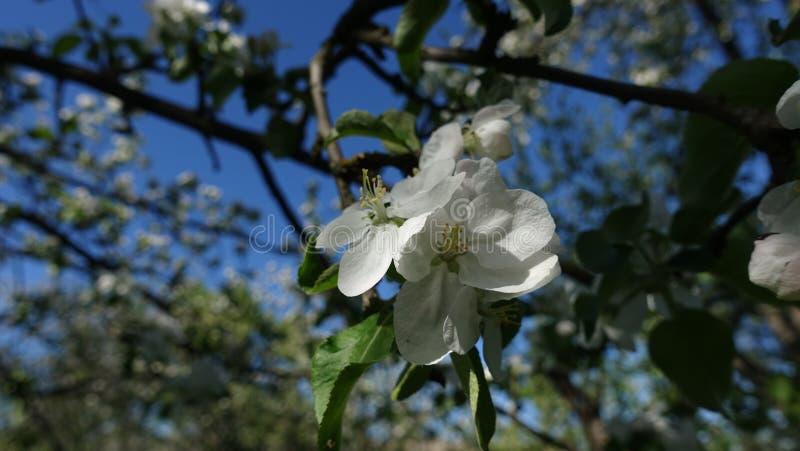 Цветя яблони в мае стоковая фотография