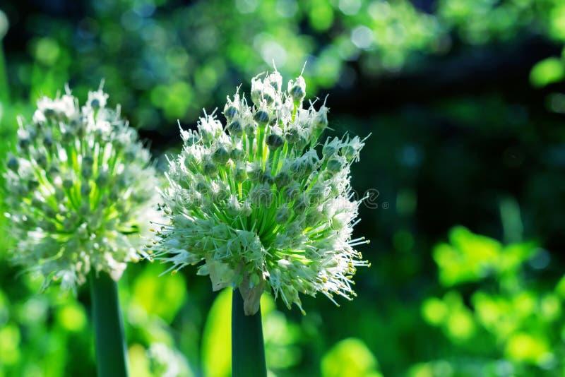 Цветя batun дикого лука стоковое фото rf