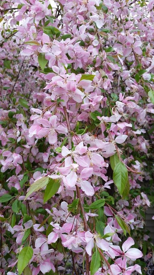 Цветя crabapple 2 стоковая фотография