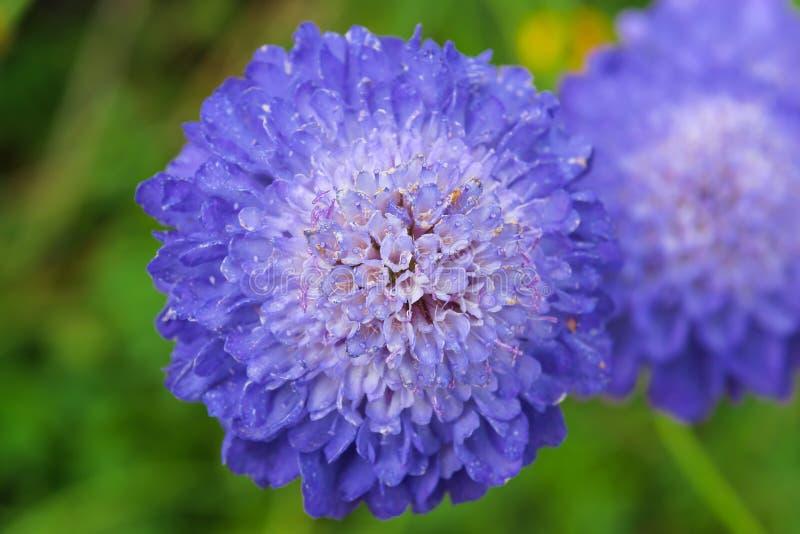 Цветя Scabiosa. стоковая фотография