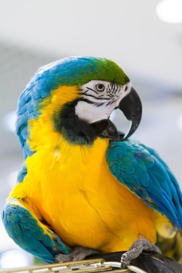Цвет ары голубой и желтый стоковые изображения rf