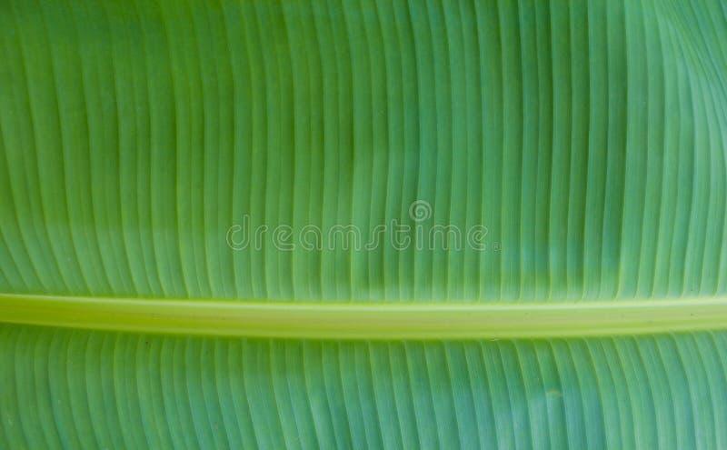 Цвет лист банана зеленый стоковые изображения rf