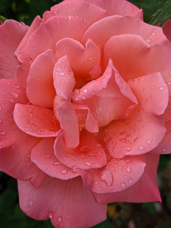Цвет лососося, полностью раскрытый розами с падением дождя стоковые фотографии rf