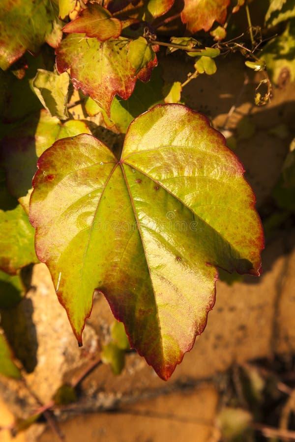 Цвет осени Creeper Вирджинии стоковое фото rf