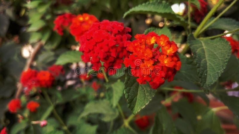 Цвет симпатичных цветков красный в gardan стоковая фотография rf