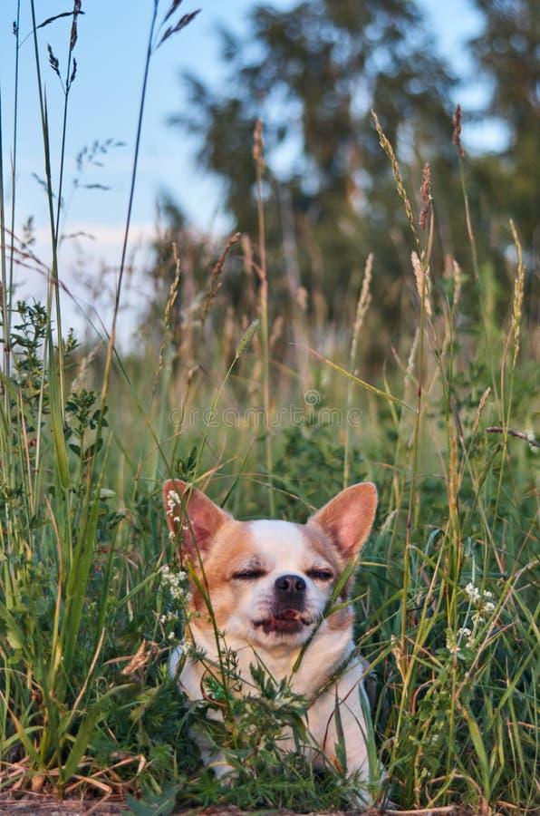 Цвет собаки чихуахуа бело-красный стоковое изображение