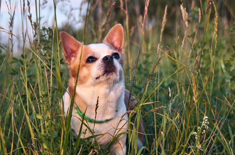 Цвет собаки чихуахуа бело-красный стоковые фотографии rf
