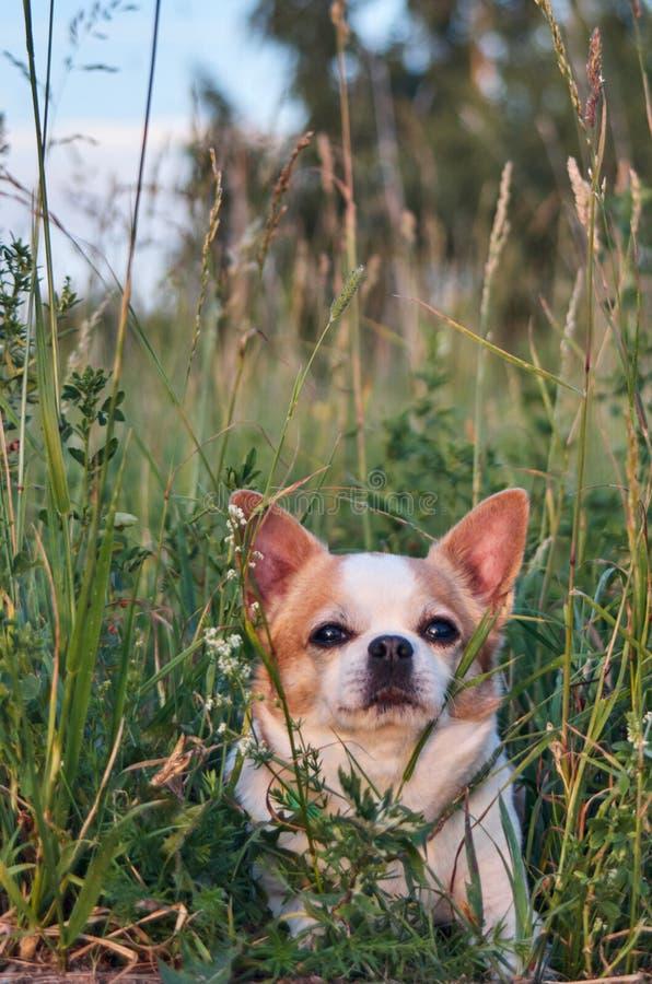 Цвет собаки чихуахуа бело-красный стоковая фотография