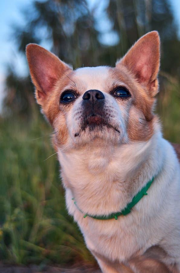 Цвет собаки чихуахуа бело-красный стоковое изображение rf
