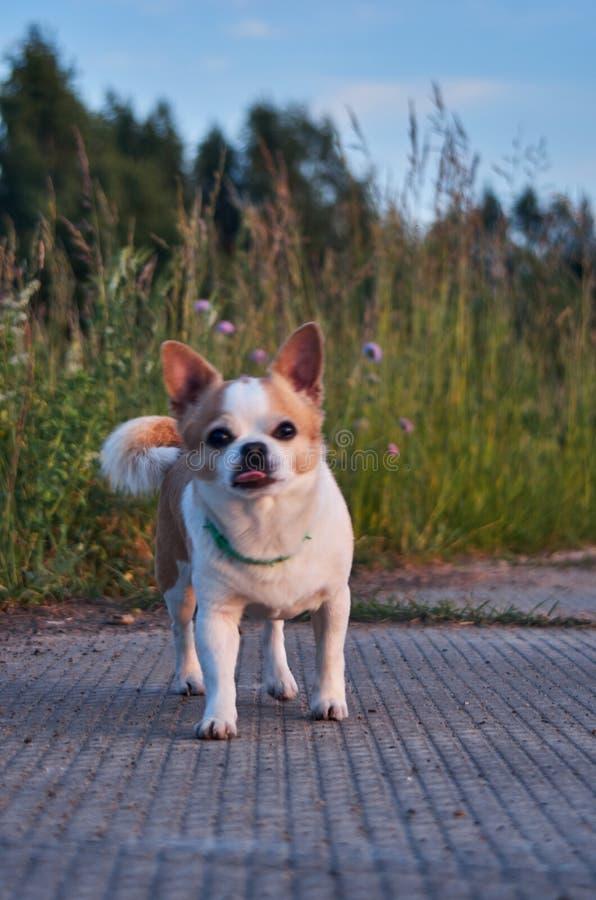 Цвет собаки чихуахуа бело-красный стоковое фото rf