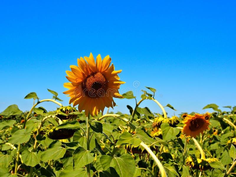 Цвет солнцецветов стоковое изображение