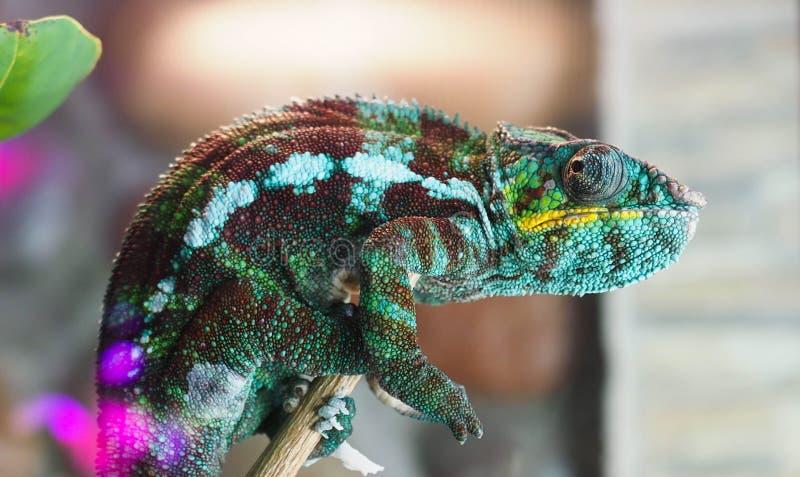 Цвет хамелеона сидит n стоковая фотография