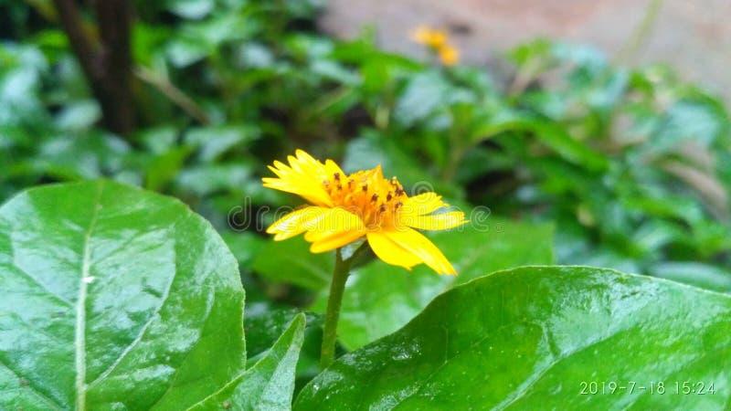 Цвет цветка Солнца желтый стоковые фотографии rf