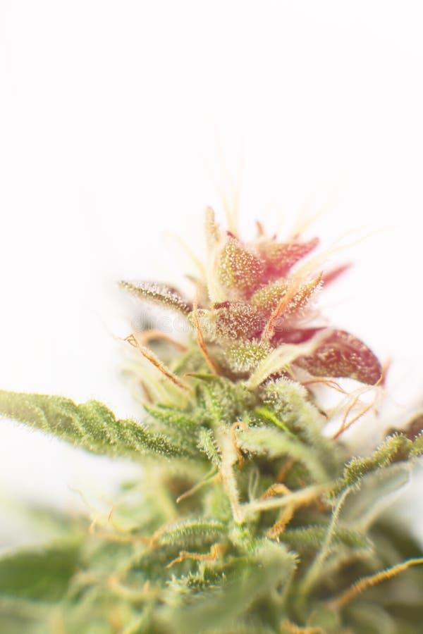 Целебное thc cbd марихуаны Макрос снятый с trichomes сахара Конопля бутона перед коноплями сбора выросли бутонами, который в доме стоковые изображения rf